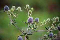 Planta selvagem de Feverweed (no latim: Planum do Eryngium) Foto de Stock
