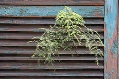Planta selvagem do aspargo Imagens de Stock Royalty Free