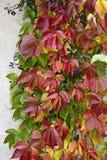 Planta selvagem do vinho da raposa em uma parede Imagens de Stock Royalty Free