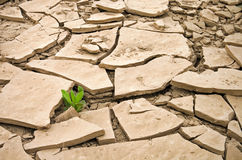 Planta selvagem que cresce em uma terra seca rachada Fotografia de Stock