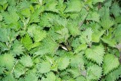 Planta selvagem verde medicinal natural do urtica das provocações Fotografia de Stock