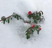 Planta sempre-verde sob a neve Imagem de Stock