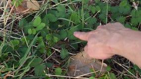 A planta sensível e a folha do toque do dedo fecharam-se na terra da sujeira filme