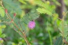 Planta sensible, pudica de la mimosa Fotografía de archivo libre de regalías