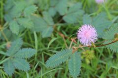 Planta sensible, pudica de la mimosa, planta, flor, planta soñolienta Fotos de archivo