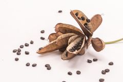 Planta sensible secada de las semillas o aislante so?oliento de la planta en el fondo blanco foto de archivo libre de regalías