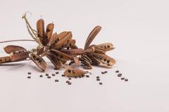 Planta sensible secada de las semillas o aislante soñoliento de la planta en el fondo blanco imagen de archivo libre de regalías