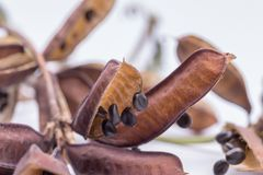 Planta sensible secada de las semillas o aislante soñoliento de la planta en el fondo blanco fotografía de archivo libre de regalías