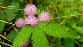 Planta sensible, planta soñolienta, tacto-yo-no, mala hierba, flores Fotografía de archivo