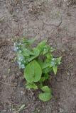 Planta siberiana floreciente del sibirica de Brunnera del bugloss en primavera Imagenes de archivo