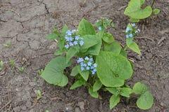 Planta siberiana floreciente del sibirica de Brunnera del bugloss en primavera jpg Fotos de archivo