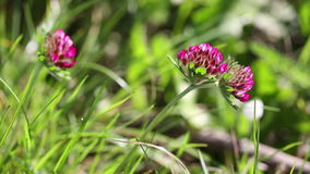 Planta silvestre del trébol rojo del pratense del Trifolium en naturaleza metrajes