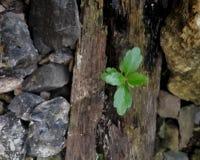 planta sobre la madera y las rocas Foto de archivo libre de regalías