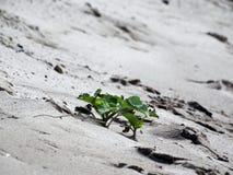 Planta sola en la arena Fotografía de archivo