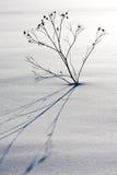 Planta sola en la nieve Foto de archivo
