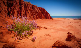 Planta sola, James Price Point, Kimberley, Australia occidental imagen de archivo libre de regalías
