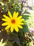 Planta solar do título com uma grande flor amarela foto de stock