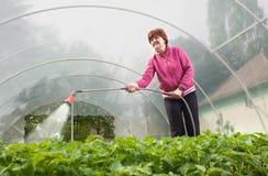 planta som bevattnar kvinnan Fotografering för Bildbyråer