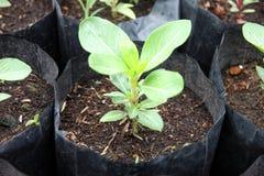 Planta som växer i den svarta påsen. Arkivfoto