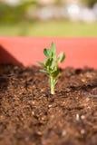 Planta Sprouting Fotos de Stock Royalty Free