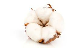 Planta suave del algodón con la reflexión Foto de archivo libre de regalías