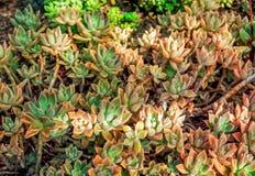 Planta subtropical suculenta del Aeonium Fotografía de archivo
