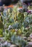 Planta suculenta Imagen de archivo libre de regalías