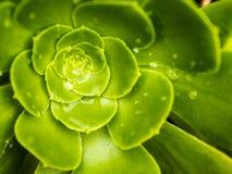 Planta suculenta Fotografía de archivo