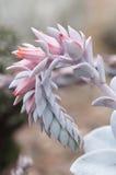 Planta suculenta con la flor rosada Foto de archivo libre de regalías