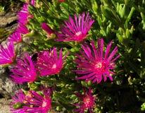 Planta suculenta con los pétalos violetas Fotografía de archivo libre de regalías