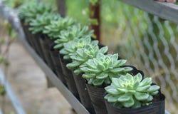 Planta suculenta de los macizos de flores en el jardín Fotos de archivo