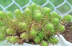 Planta suculenta de los macizos de flores en el jardín Fotos de archivo libres de regalías