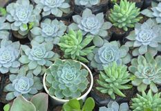 Planta suculenta de los macizos de flores en el jardín Imágenes de archivo libres de regalías