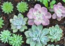 Planta suculenta de los macizos de flores en el jardín Imagen de archivo