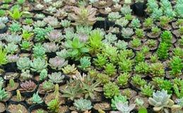 Planta suculenta de los macizos de flores en el jardín Foto de archivo libre de regalías