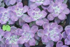 Planta suculenta de los macizos de flores en el jardín Imagenes de archivo