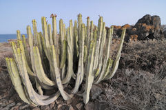 Planta suculenta del cactus en el desierto Foto de archivo libre de regalías