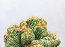 Planta suculenta del cactus en un invernadero del jardín del desierto Imagen de archivo