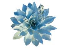 Planta suculenta del echeveria azul vivo aislada en blanco Imágenes de archivo libres de regalías