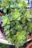 Planta suculenta del kiwi del Aeonium en maceta imágenes de archivo libres de regalías