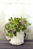 Planta suculenta en caldera vieja Imagen de archivo