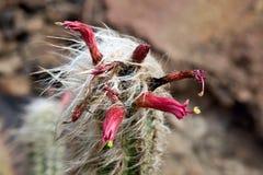Planta suculenta en flor Imágenes de archivo libres de regalías