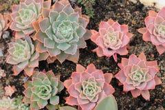 Planta suculenta en invernadero Foto de archivo