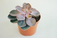 Planta suculenta en un pote imagen de archivo libre de regalías