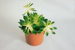 Planta suculenta en un pote Imágenes de archivo libres de regalías