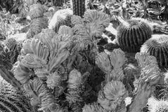 Planta suculenta exótica Imagen de archivo