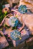 Planta suculenta floreciente, Echeveria Fotos de archivo libres de regalías