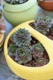 Planta suculenta hermosa en maceta amarilla Succulents al aire libre hermosos de las gallinas y de los polluelos de Sempervivum fotos de archivo