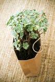 Planta suculenta potted verde en una bolsa de papel marrón Foto de archivo libre de regalías