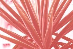 Planta suculenta que crece en la ciudad Tono coralino fotografía de archivo